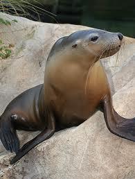 Australian Fur Seal Picture