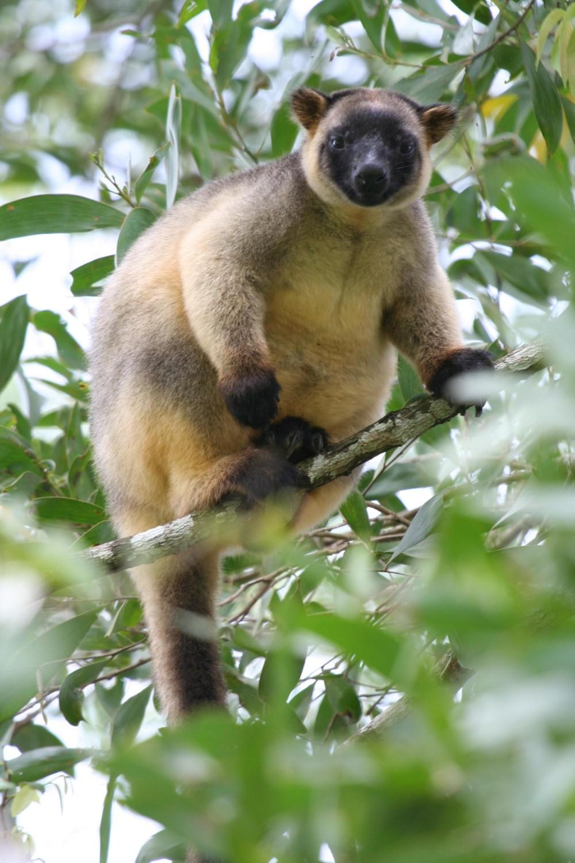 lumholtz tree kangaroo habitat behavior life span diet and