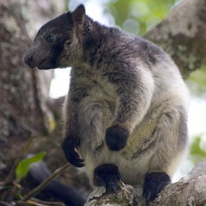 Pictures of Lumholtz tree kangaroo