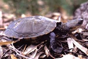 Western Swamp Tortoises