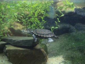 Western Swamp Tortoise Images