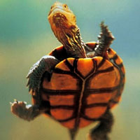 Pictures of Western Swamp Tortoise