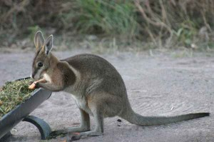Images of Bridled Nailtail Wallaby