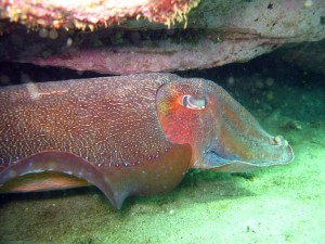 Pictures of Giant Cuttlefish