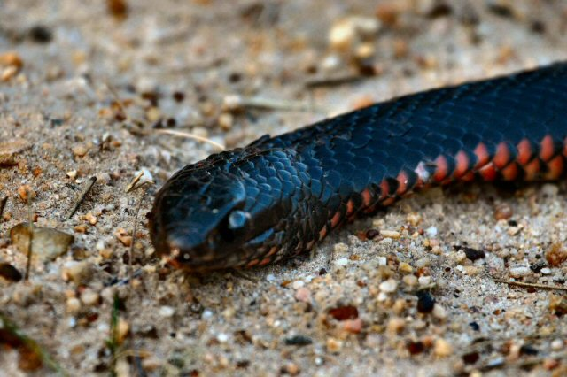 Picture of Red-Bellied Black Snake